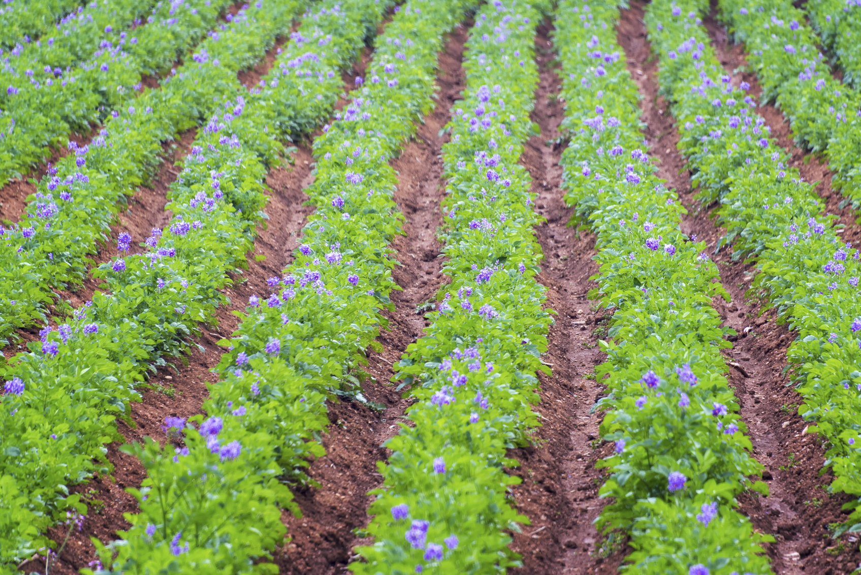 Rows of lush green potato plants with purple flowers near Concepcion, Peru